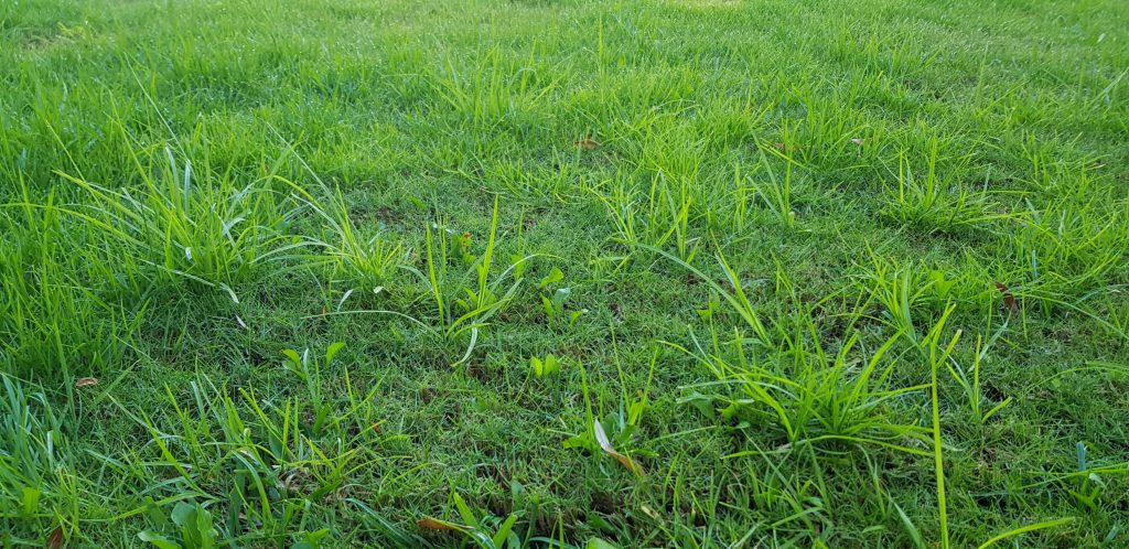 Random - Lawn Weeds 1